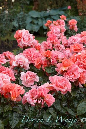 Rosa 'BAInce' - Sweet Fragrance_5105