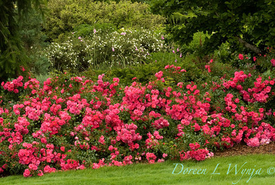 Rosa Flower Carpet Pink_001