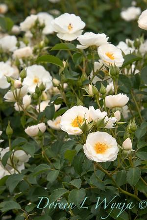 42041 Rosa 'Spinnaker' Amorina white rose_1940