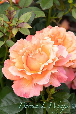 Rosa floribunda 'HARpageant' Easy Does It_0200