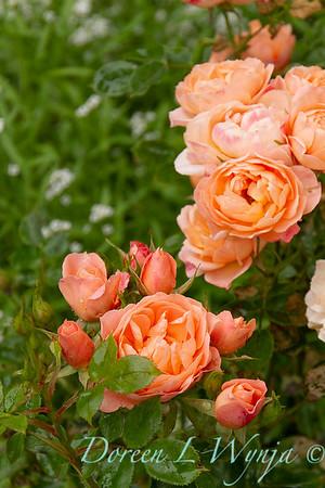 Rosa peach_8474