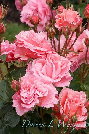 Rosa 'BAIsme' - Kiss Me_5095