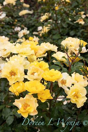 42229 Rosa 08-0109-014 yellow_2079
