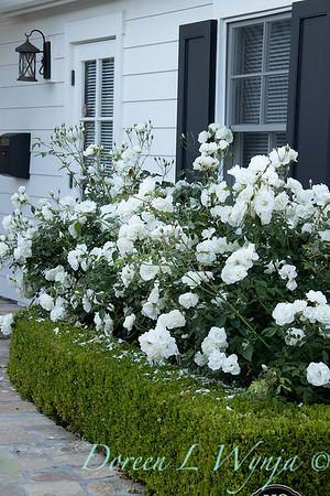 Rosa floribunda 'Iceberg' - Buxus boxwood headge - white garden_0711