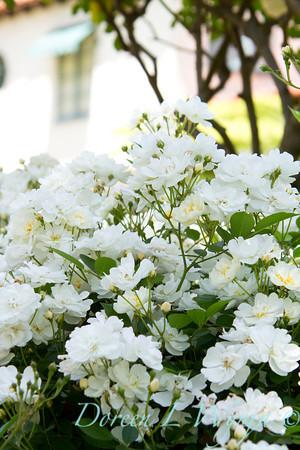 Rosa Flower Carpet White_007