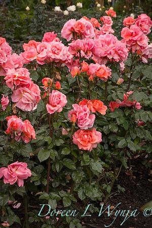 Rosa 'BAInce' - Sweet Fragrance_5098