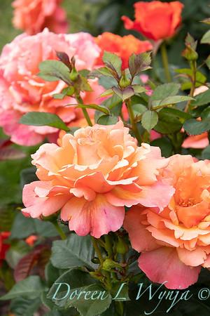 Rosa floribunda 'HARpageant' Easy Does It_0198