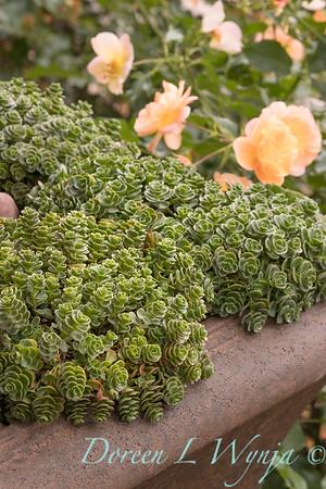 Sedum spurium 'John Creech' in a container; succulent container