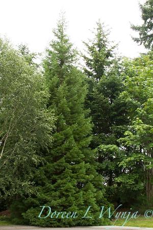 Sequoiadendron giganteum_2708