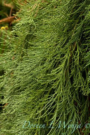 Sequoiadendron giganteum Pendula_013