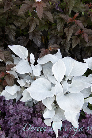 Senecio candicans 'Senaw' Angel Wings - Heuchera_194