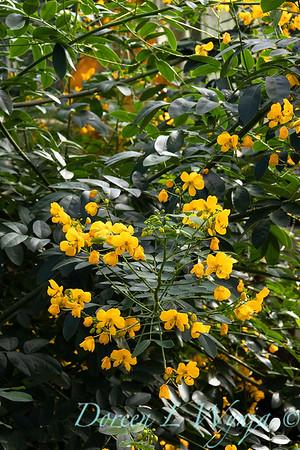 Senna corymbosa buttercup bush_2550