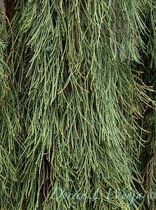 Sequoiadendron giganteum 'Pendulum'_6034