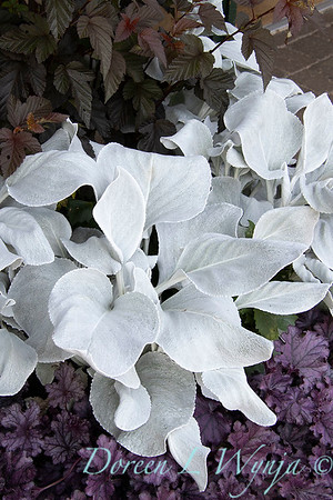 Senecio candicans 'Senaw' Angel Wings - Heuchera_191