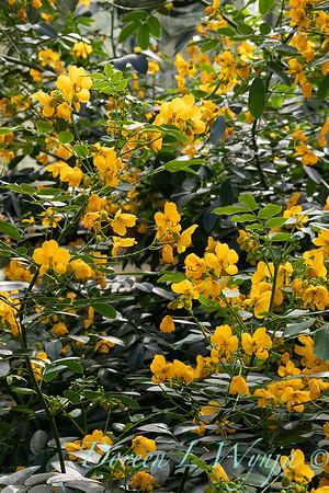 Senna corymbosa buttercup bush_2544