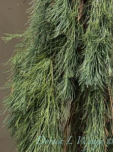 Sequoiadendron giganteum 'Pendulum'_6032