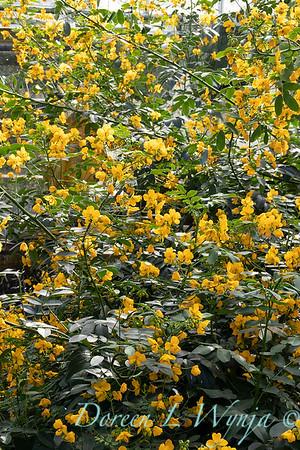 Senna corymbosa buttercup bush_2542