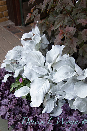 Senecio candicans 'Senaw' Angel Wings - Heuchera_200