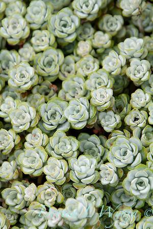 Sedum spathulifolium Cape Blanco_042