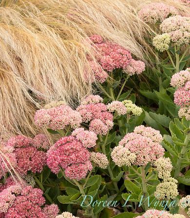 Sedum spectabile 'Autumn Joy' - Nassella tenuissima_3575