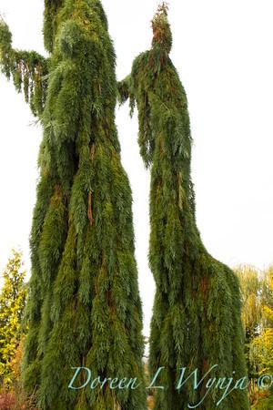 Sequoiadendron giganteum Pendula_007