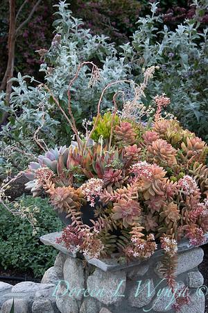 Sedum nussbaumerianum - river rock container succulent planter_2885
