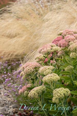 Sedum spectabile 'Autumn Joy'_3571