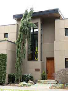 Sequoiadendron giganteum 'Pendulum' front door entryway_6041