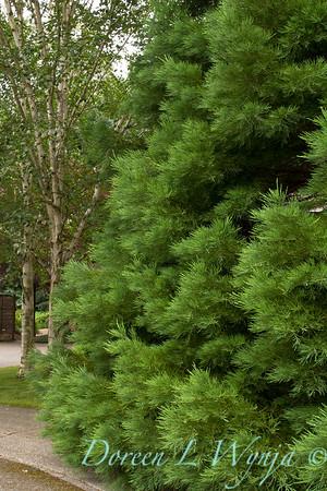 Sequoiadendron giganteum_2717