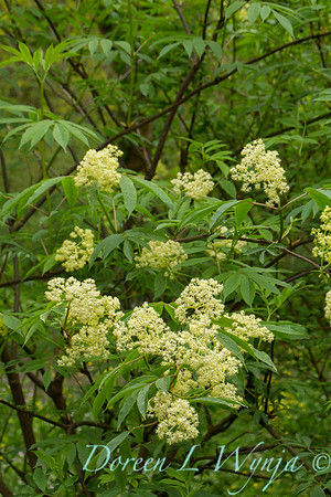 Sambucus racemosa var  arborescens_001