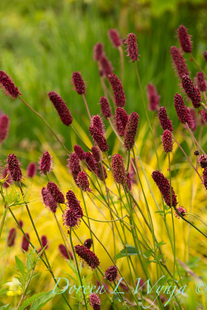 Sanguisorba officinalis 'Red Thunder'_7020