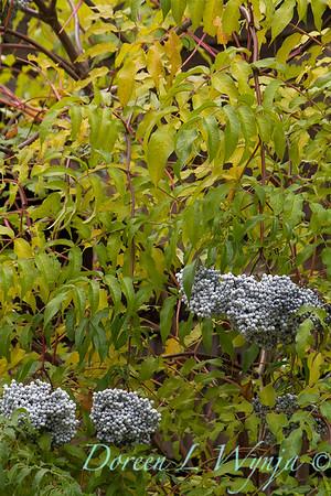 Sambucus nigra subsp cerulea_7046