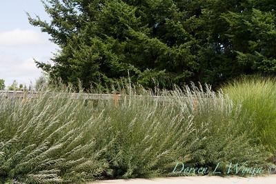 Salix purpurea Nana_0851