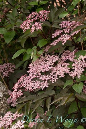 Sambucus nigra 'Black Beauty'_645