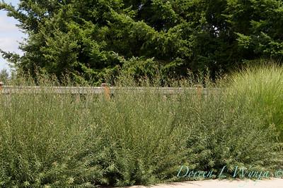 Salix purpurea Nana _0884