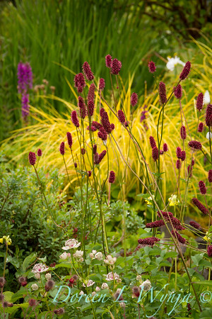 Sanguisorba officinalis 'Red Thunder'_7018