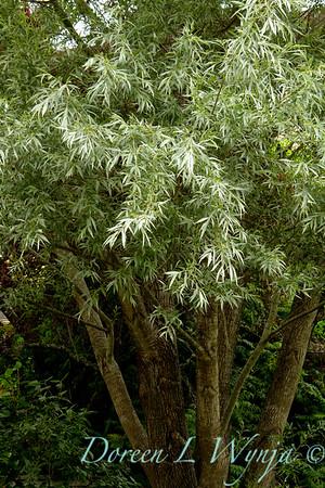 Salix alba sericea_008