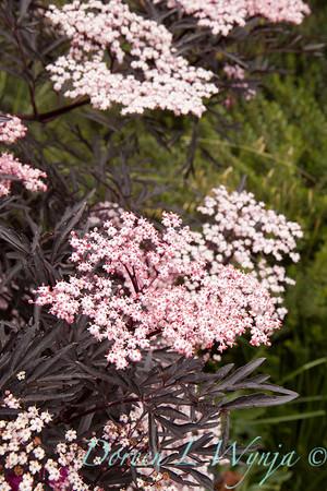 Sambucus nigra Black Lace_001