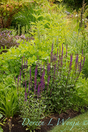 Salvia nemorosa 'Caradonna'_3937