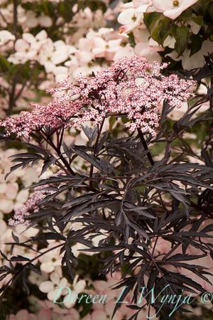 Sambucus nigra Black Lace_006