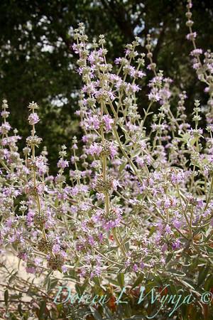 Sage leucophylla_004