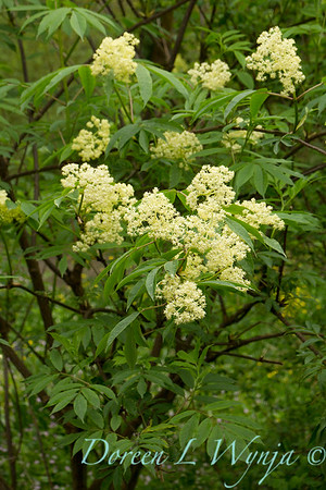 Sambucus racemosa var  arborescens_002