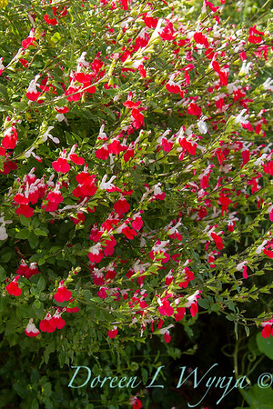 Salvia microphylla Hot Lips_003