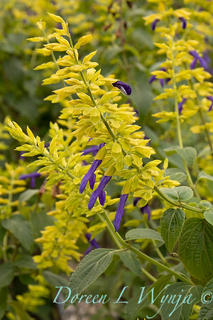 Salvia mexicana 'Limelight'_4223