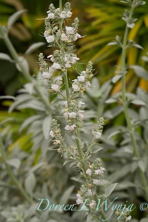 Salvia apiana_Doreen Wynja_007