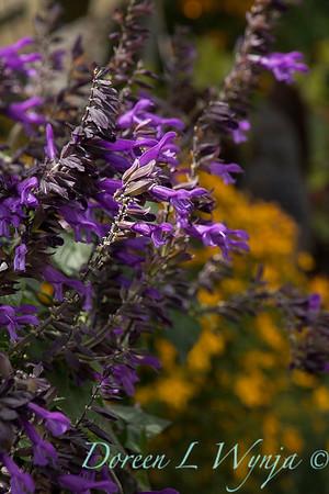 Salvia 'Amistad'_0814