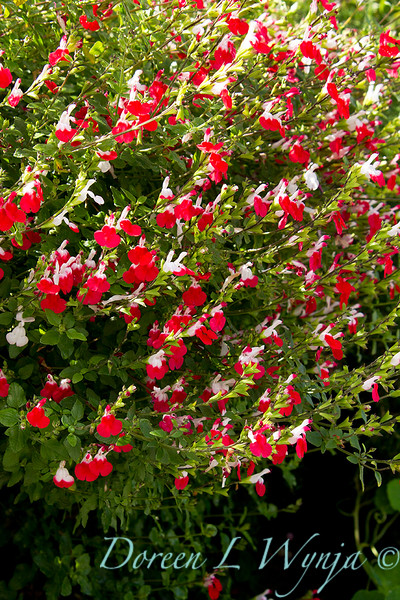Salvia microphylla Hot Lips_002