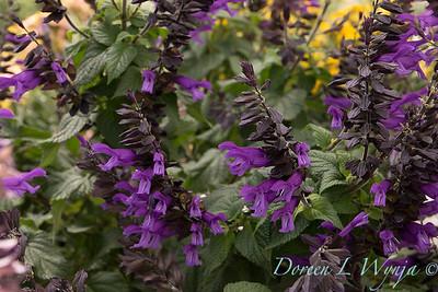 Salvia 'Amistad'_609