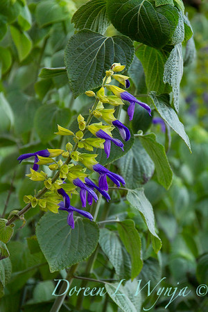 Salvia mexicana 'Limelight'_2810