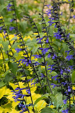 Salvia guaranitica 'Black & Blue' - Solenostemon scutellarioides 'Wasabi'_5256